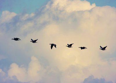 bird-migration-4023842_960_720